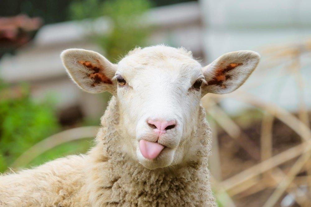40 Sheep Puns and Jokes to Make You Smile