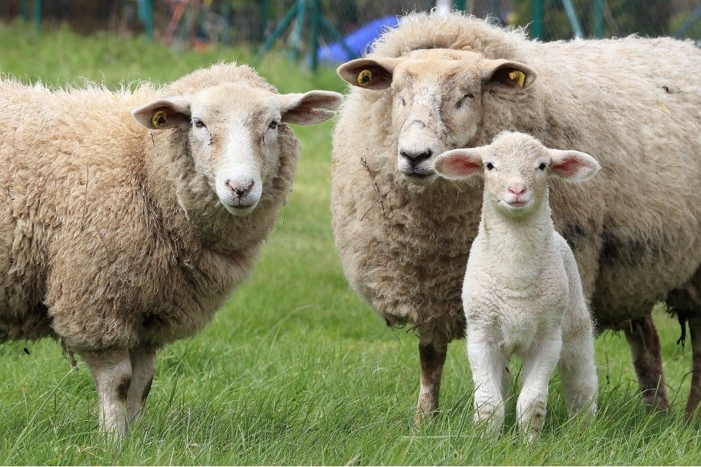 two sheeps and a lamb